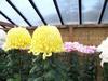 Gigantochrysanth_1